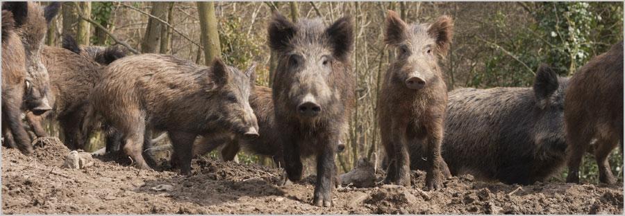 home_boar